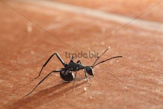 Ant Formicidae, Samboja, East Kalimantan, Borneo, Indonesia, South-East Asia