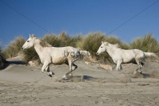 Camargue horses gallopping over dunes, Camargue, Southern France, Europe