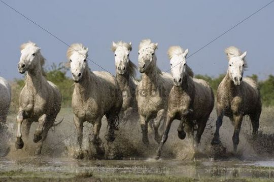 Camargue horses gallopping through water, Camargue, Southern France, Europe