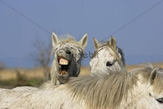 Camargue horses, Camargue, Southern France, Europe