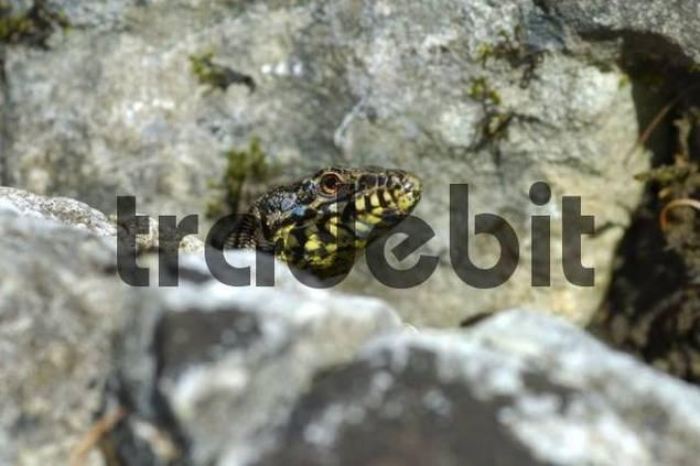 Male Wall Lizard Podarcis muralis