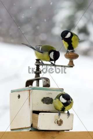 Great Tits Parus major, perched on coffee mill