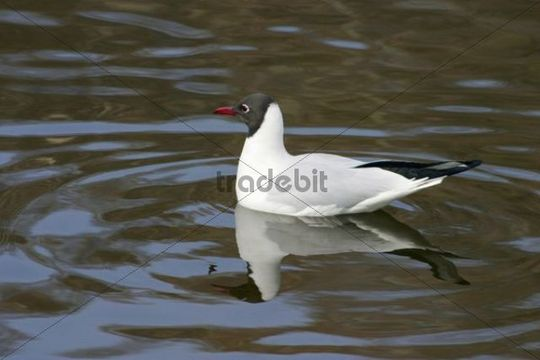 Common Black-headed Gull Larus ridibundus, Chroicocephalus ridibundus, Ostrava, Czech Republic, Europe