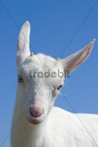 White Nanny Goat, Domestic Goat Capra aegagrus hircus, Capra hircus hircus, Lacnov, Vsetin district, Czech Republic, Europe
