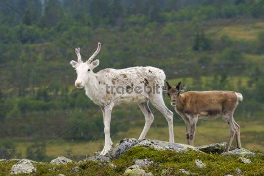 Reindeer Rangifer tarandus with calf, Gutulia National Park, Norway, Scandinavia, Europe