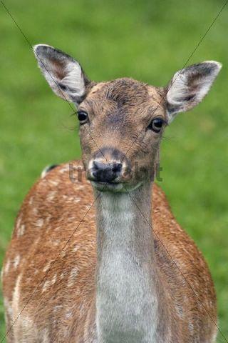 European Fallow Deer Cervus dama dama, portrait