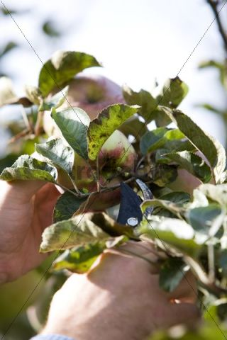 Apples being cut from tree by hand with pruning shears