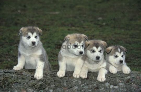 Alaskan Malamute puppies, 5 weeks old