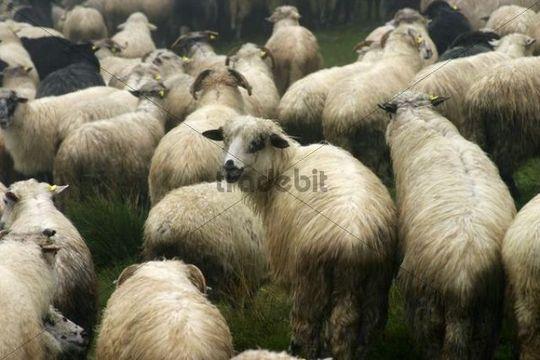 Sheep, Varasoaia valley, Muntii Bihor, Bihor Mountains, Parcul Natural Apuseni, Apuseni Natural Park, Romania, Europe