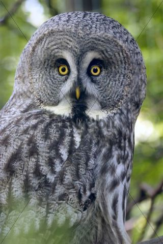 Great Grey Owl, Great Gray Owl Strix nebulosa