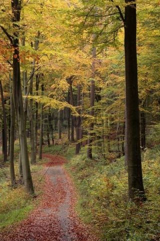 Forest path covered with leaves leading through an autumnal beech forest, Bad Hersfeld, Hesse, Germany, Europe
