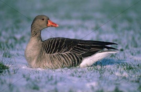 Greylag Goose Anser anser in the snow