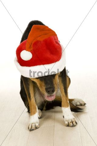 Mongrel dog wearing Santa Claus hat