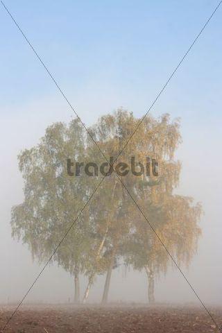 Weeping Birch trees Betula pendula in fog, autumn