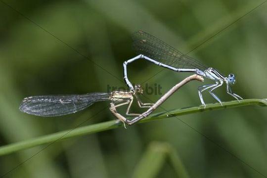 White-legged Damselflies Platycnemis pennipes mating