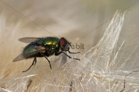 Common green bottle fly Lucilia sericata on a blossom