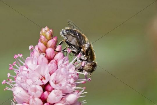 Hoverfly Syrphidae on a pink blossom