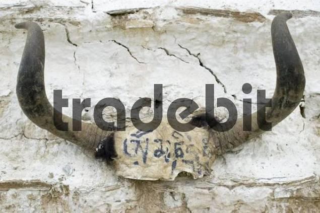 Jak horns with inscription, Ladakh, Jammu and Kashmir, India