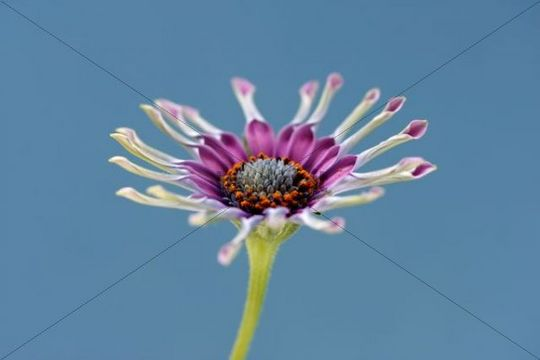 African or Cape Daisy Osteospermum, Pink Whirls