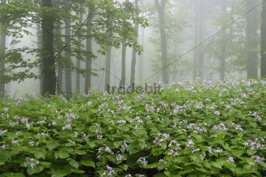 Javorina national wilderness area, Bile Karpaty, White Carpathian Mountains, protected landscape area, South Moravia, Czech Republic, Europe