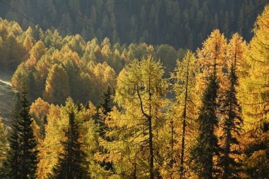 Nockberge National Park, autumnal larch forest, view from Nockalm road, Carinthia, Austria, Europe