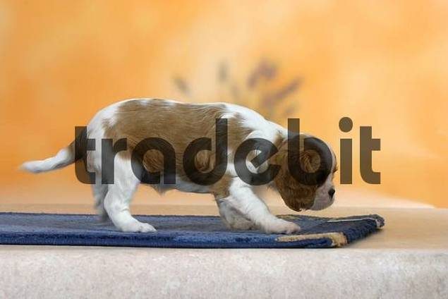 Cavalier King Charles Spaniel, puppy, 7 weeks, Blenheim side