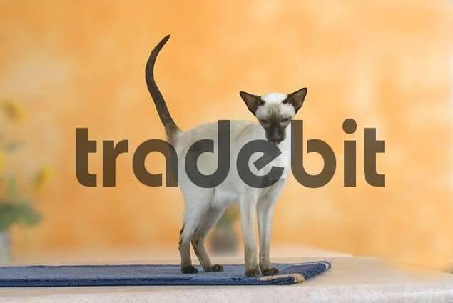 Siamese Cat, chocolate-point