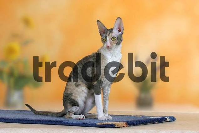 Cornish Rex Cat, bicolor-blue-tortie