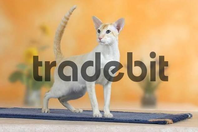 Siamese Cat, tomcat, redtabby-point
