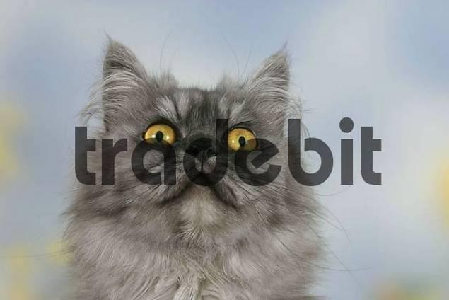 Persian Cat, black-smoke