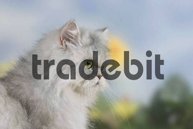 Persian Cat, silver-shaded-tortie