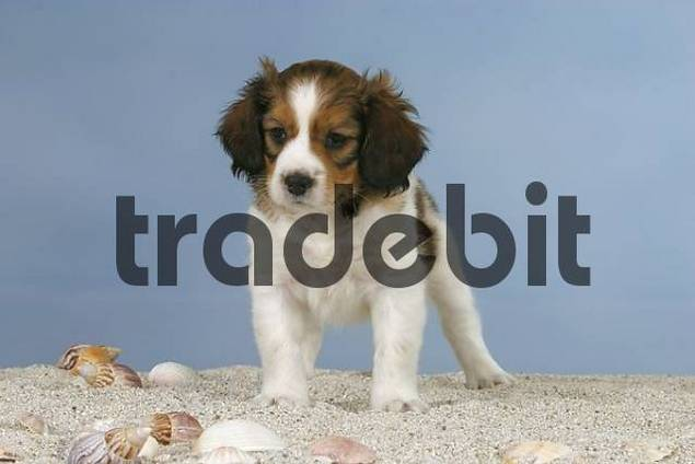 Small Dutch Waterfowl Dog, puppy, 6 weeks Kooikerhondje