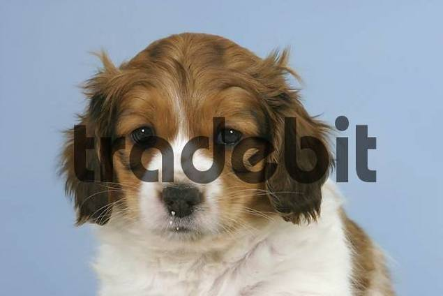 Small Dutch Waterfowl Dog, puppy, 6 weeks Kooikerhondje