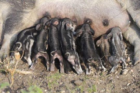 Mangalitsa Pig also Curly-hair hog Sus scrofa domesticus, suckling piglets, Lake Neusiedl, Burgenland, Austrial, Europe