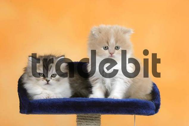 Persian Cat, kittens, 6 weeks