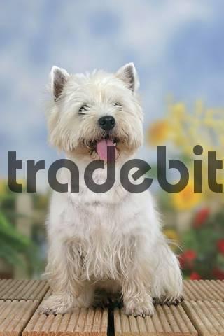 West Highland White Terrier Westie