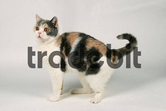 British Shorthair Cat side