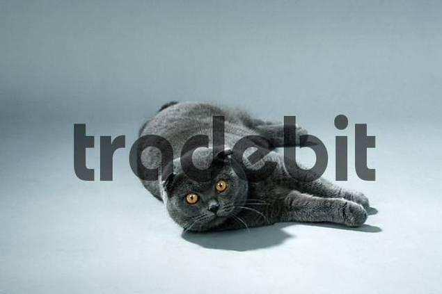 Scottish Fold, tomcat, blue