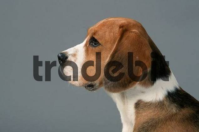 Beagle side, profile, dreifarbig, tricolor
