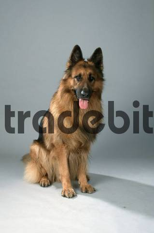 Old German Shepherd Alsatian