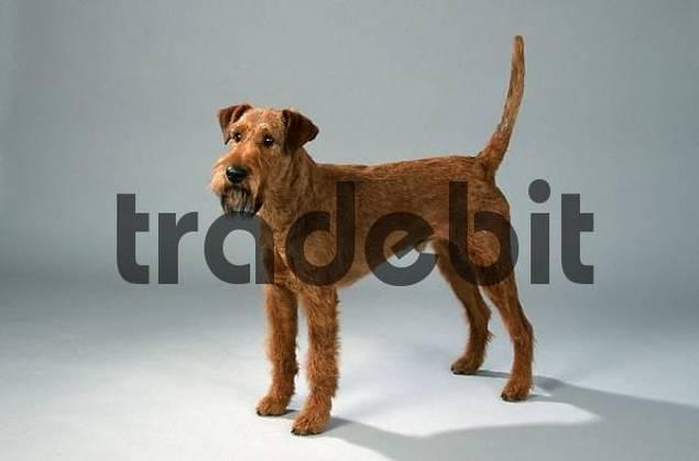 Irish Terrier side
