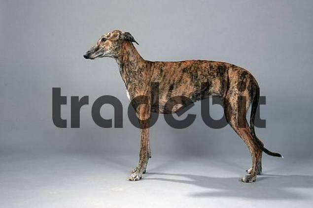 Spanish Greyhound, bitch Galgo Espanol