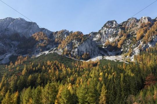 Autumnal larch trees on Mount Trenchtling, Tragoesstall Valley, Styria, Austria, Europe
