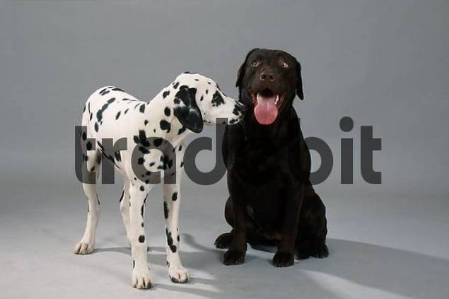 Labrador Retriever, brown, and Dalmatian puppy