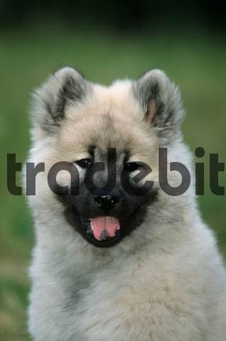 Eurasier, puppy, 14 weeks