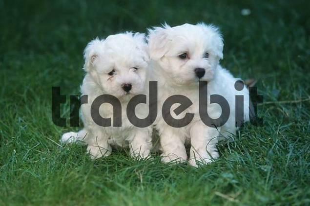 Maltese puppies, 6 wee...