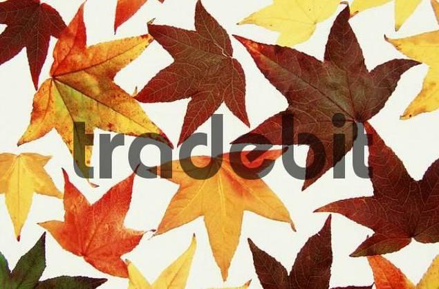 Autumn leaves of Sweet Gum Tree Liquidambar styraciflua pendula