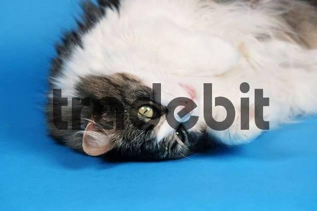 Norwegian Forest Cat, black-tabby-mackerel-white