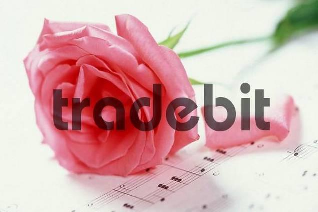Rose blossom on sheet of music