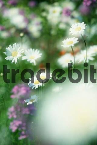 Flower meadow with Ox-eye Daisies